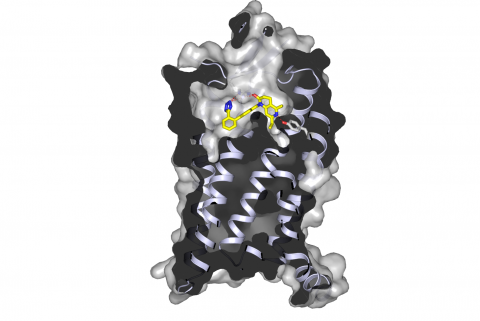 """Image - This rendering shows a molecule, ZD7155 (yellow, blue and red), binding inside the """"pocket"""" of an angiotensin receptor. Angiotensin receptors plays an important role in regulating blood pressure."""